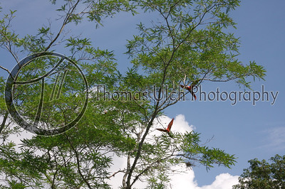 Scarlet Macaws on the wing.  Ruinas de Copan, Honduras.
