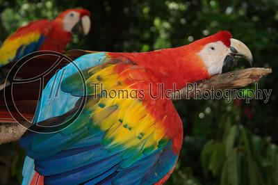 A very sleepy Scarlet Macaw. Ruinas de Copan, Honduras.
