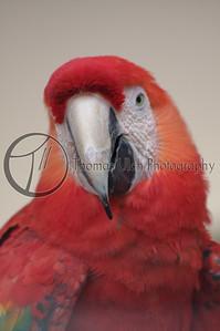 Scarlet Macaw. San Ignacio, Belize.