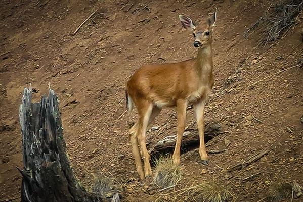 Olympic Blacktail Deer