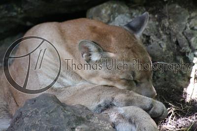 Sleepy Mountain Lion. Lake Peten Itza, Guatemala.