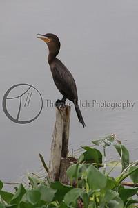 A Neotropic Cormorant. Lake Peten Itza. Guatemala.