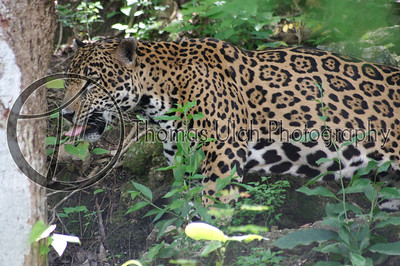 They have the strongest bite of all big cats and can hold their own against some tigers. Lake Peten Itza, Guatemala.