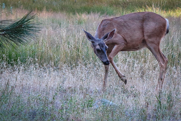 Yosemite Black-Tailed Deer