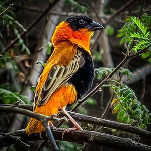 Orange Bishop Weaver in Tree