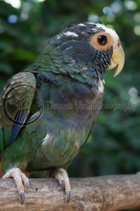 This was one of a pair of rescued birds.  Ruinas de Copan, Honduras.