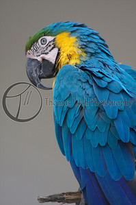 Blue and Gold Macaw. San Ignacio, Belize.
