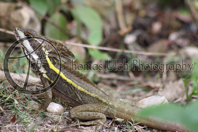 """These are the lizards that stand up and """"walk"""" on water. They are scurrying around all over the place. It was a bit disconcerting at first to be walking along and have a two foot lizard leap out of the brush and run away on it's hind legs! I swear they lay in wait for people. El Remate, Guatemala."""