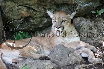 Mountain Lion. Lake Peten Itza, Guatemala.