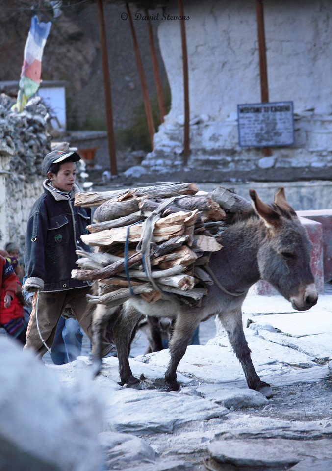 50donkey with firewood load