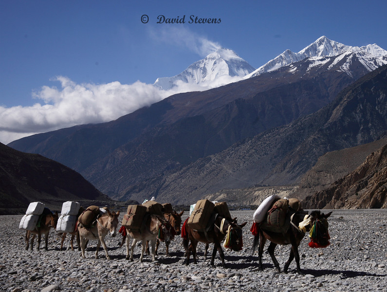 56 Donkeys, Kali Gandaki riverbed Dahlgiri peak