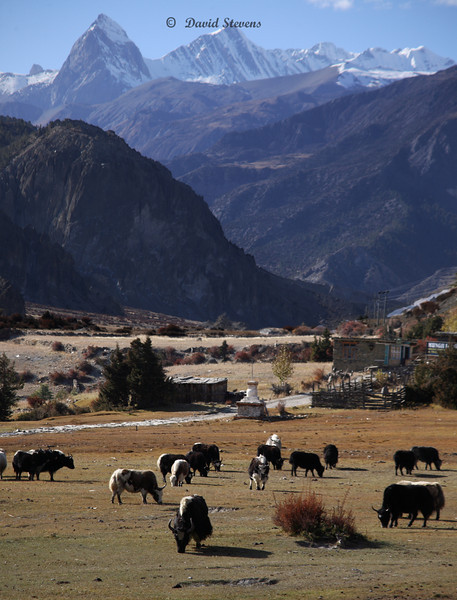 22 yaks, anna3