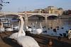 Swans in Prague 5