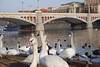 Swans in Prague 4