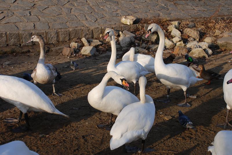 Swans in Prague 8