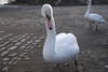 Swans in Prague 1