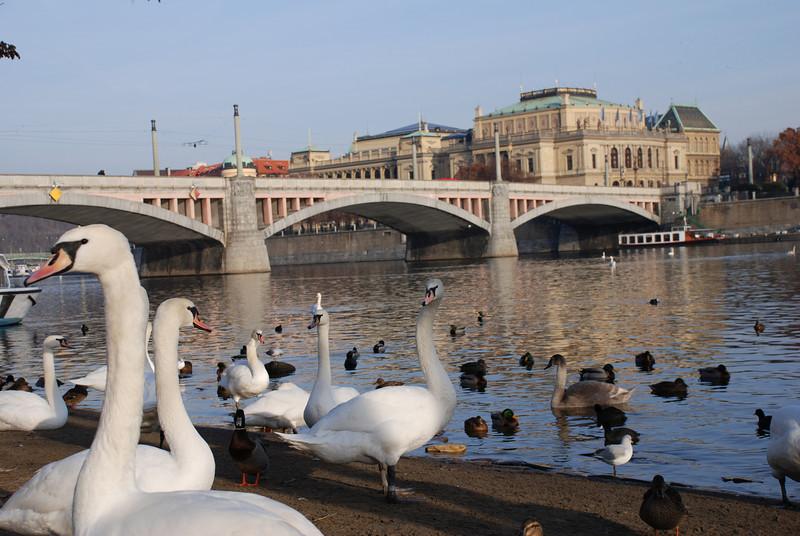Swans in Prague 6