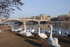 Swans in Prague 3
