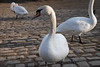 Swans in Prague 2