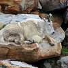 A mountain goat at the Nemacolin Resort zoo.