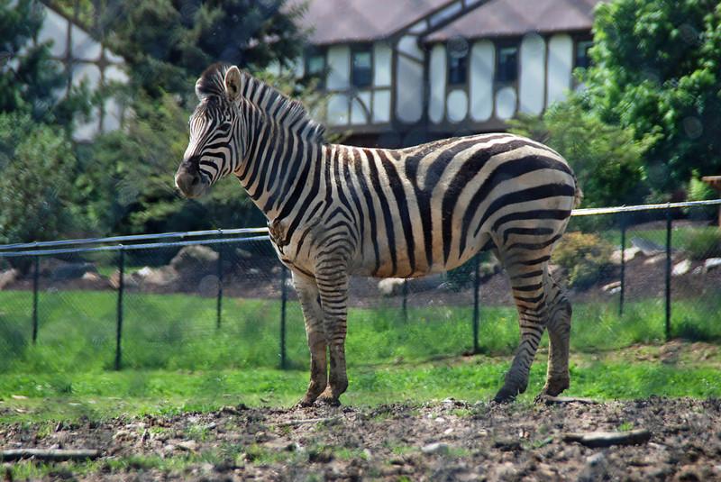 Zebra at Nemacolin zoo.