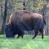 Buffalo at Nemacolin zoo.