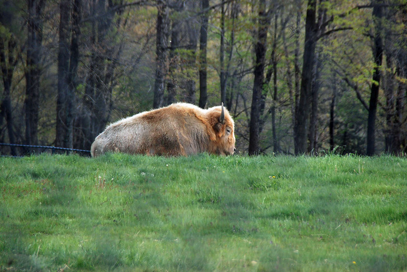 A white buffalo at Nemacolin zoo.