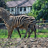 Zebra at Nemacolin zoo.