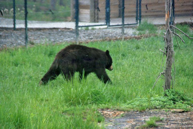 Bear at Nemacolin zoo.