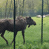 Moose at Nemacolin zoo.