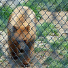 Bear at Nemacolin zoo.