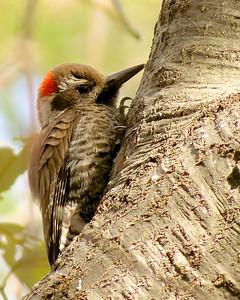 "Arizona January 2014 with Bob Speare ""Arizona Woodpecker"""