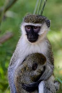 """Kenya March 2014 with Dave Larson """"Vervet Monkey"""""""