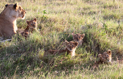 "Kenya March 2014 with Dave Larson ""Lion Cubs"""