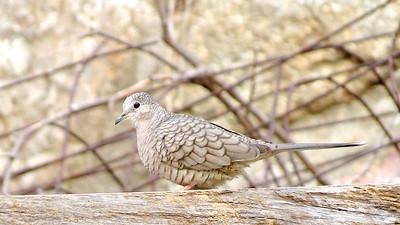 "Arizona January 2014 with Bob Speare ""Inca Dove"""