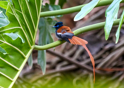 "Kenya March 2014 with Dave Larson ""African Paradise Flycatcher"""