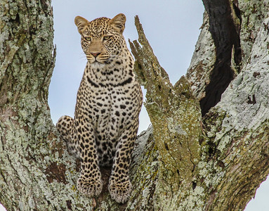 """Kenya March 2014 with Dave Larson """"Leopard"""""""