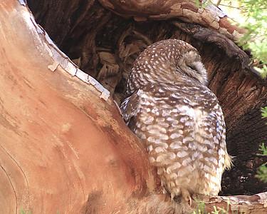 "Arizona January 2014 with Bob Speare ""Spotted Owl"""