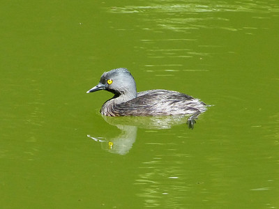 """Jamaica February 2014 with Bill Gette """"Least Grebe"""""""