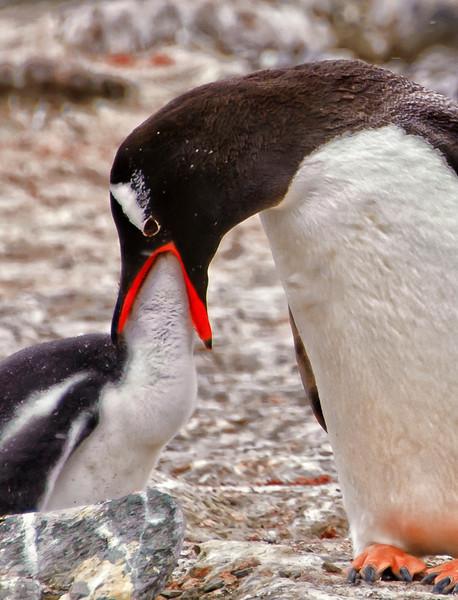 Gentoo penguin feeding the chick