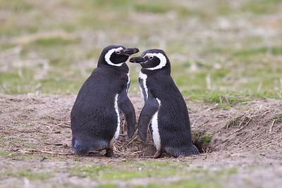 Magellanic Penguins