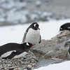 Nesting Gentoo Penguins on Danco Island.
