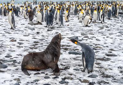 Seal_Fur_Penguin_King_Salisbury Plain_South Georgia-1-Edit