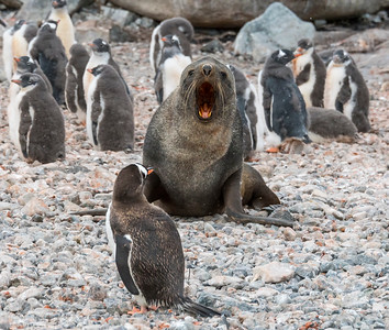 Penguin v Seal_Cuverville Island_Antarctic Peninsula-3