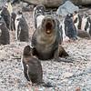 Penguin v Seal_Cuverville Island_Antarctic Peninsula-3