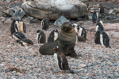 Penguin v Seal_Cuverville Island_Antarctic Peninsula-2
