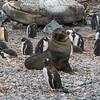 Penguin v Seal_Cuverville Island_Antarctic Peninsula-2