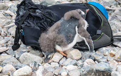 Penguins_Gentu_Cuverville Island_Antarctic Peninsula-17