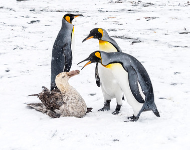 Petrals_Penguins_King_Salisbury Plain_South Georgia-1