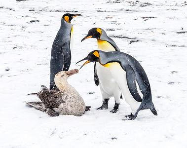 Petrals_Penguins_King_Salisbury Plain_South Georgia-1